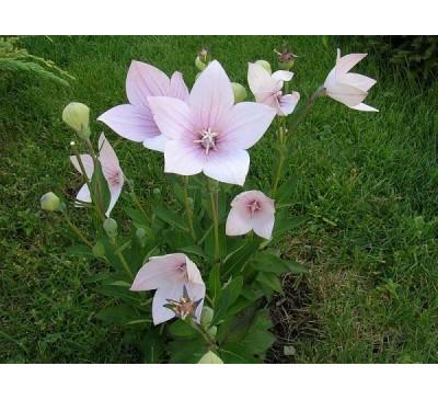 Платикодон, або Ширококолокольчик крупноквітковий Пінк, рослина ( Р. grandiflorus (Jacq.)  Pink)
