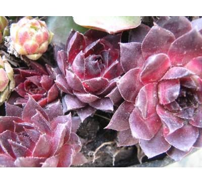 Молодило, семпервівум 4 ( Sempervivum)