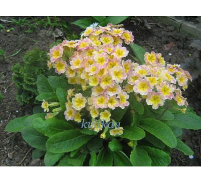 Примула висока Анжеліка ( Рrimula elatior (L.) Hill.  Angelic)