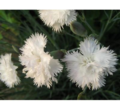 Гвоздика садова Хейтор Уайт   (D. caryophyllus L  hybr. 'Heytor white')