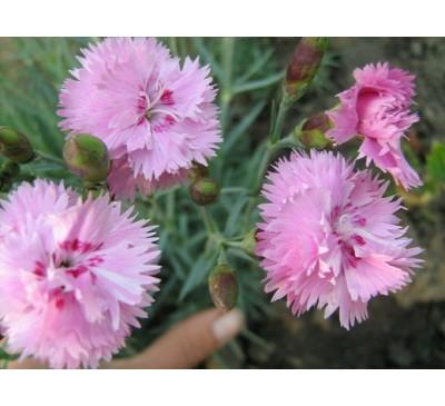 Гвоздика садова Пінк Джевел ( D. caryophyllus L hybr. 'Pink Jewel')