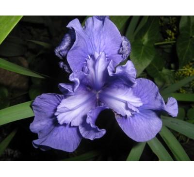 Ірис сибірський синій (I. sibirica)