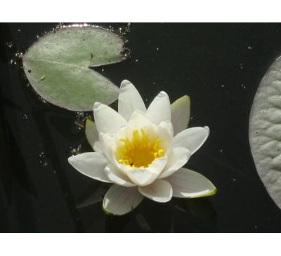 Латаття, або  Кувшинка біла, або німфея біла (Nymphaea alba)