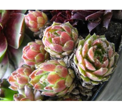 Молодило малоросле, або карликове Ephemera mini  (Sempervivum pumilum )