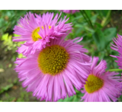 Ерігерон (мелколепестник) рожевий