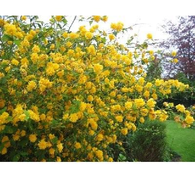 Керія японська Пленіфлора (Кerria japonica 'Pleniflora')
