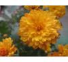 Хризантема мультифлора Mango