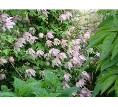 Княжик Пінк фламінго ( Clematis Atragene Group 'Pink Flamingo' , alpina)