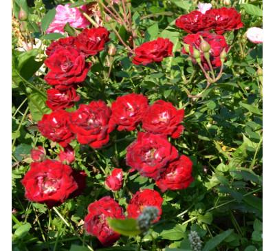Роза грунтопокривна Red Cascade