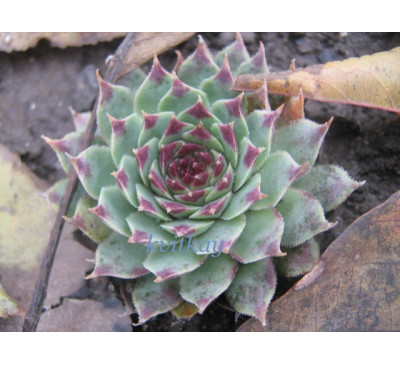 Молодило 'Greenii'   ( Sempervivum  tectorum 'Greenii')