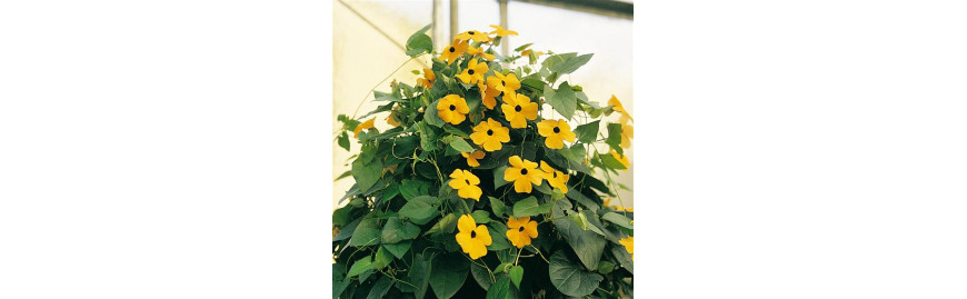 Насіння садових квітів