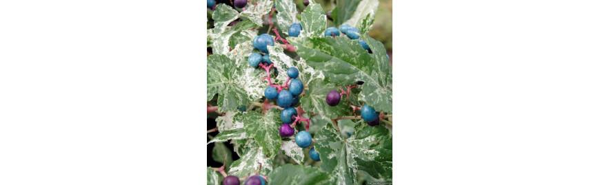 Клематиси та інші виткі рослини