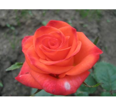 "Троянда ""Вау"" (Rose Wow )"