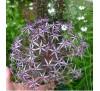 Цибуля Христофа (Allium cristophii), насіння