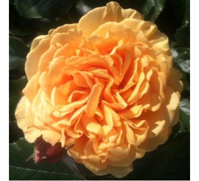 """Троянда """"Голден Селебрейшн"""" (Rose Golden Celebration )"""
