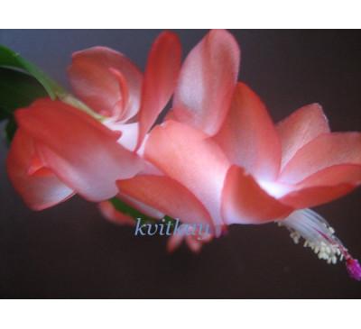 Шлюмбергера усічена (Schlumbergera truncatus)  Apricot (умов.)