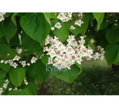 Катальпа бігнонієподібна, або звичайна, насіння (Catalpa Bignoniaceae)