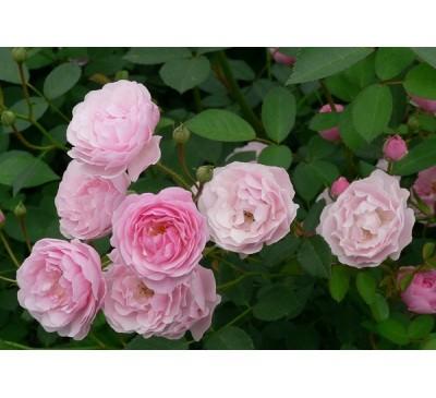 Роза запашна, або Троянда чайна (Rosa odorata)
