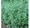 Дібровник звичайний (Teucrium chamaedrys)