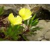 Енотера місурійська (Oenothera missouriensis Sims)
