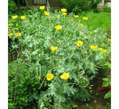 Ешольція багаторічна, каліфорнійський мак, насіння