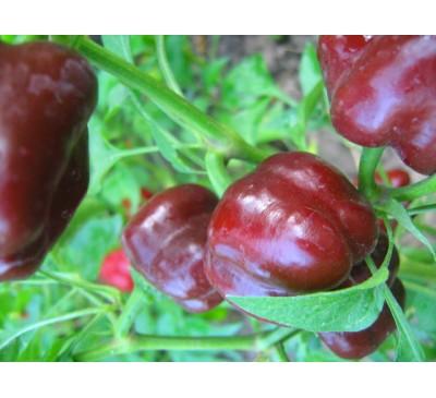 Насіння перцю салатного Червоний гогошар