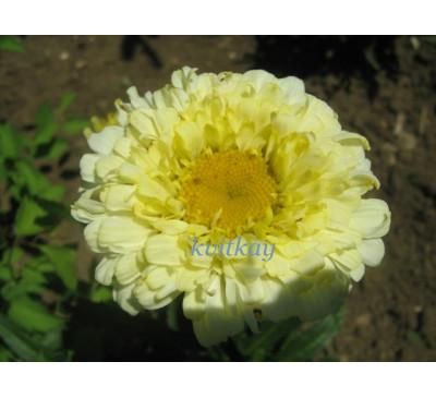 Нивяник Голд Фінч  (Leucanthemum Goldfinch)