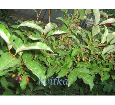 Гумі, або Лох багатоквітковий, рослина (ELAEAGNUS)