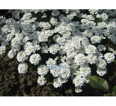 """Іберис вічнозелений """"Сніжинка""""( Iberis sempervirens L.  Snowflake)"""