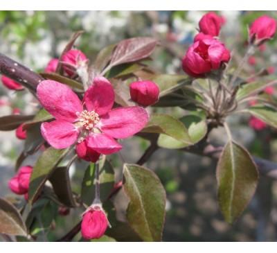 Яблуня Недзвецького ( Malus niedzwetzkyana)