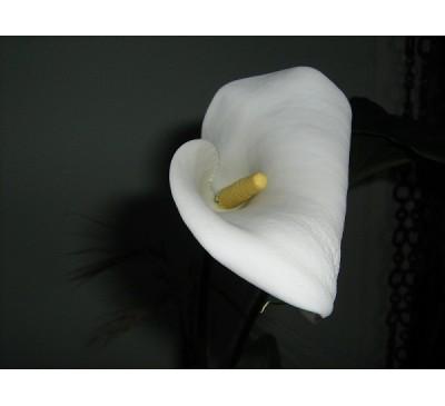 Кала ефіопська біла (Calla aethiopica)
