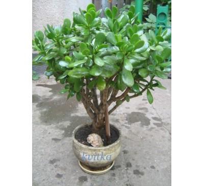 Крассула, товстянка портулакова (Сrassula portulacea)