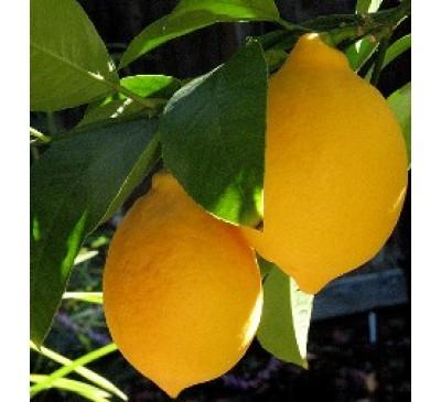 Лимон Мейєра (Citrus Limon Mejer)