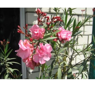 Олеандр звичайний рожевий