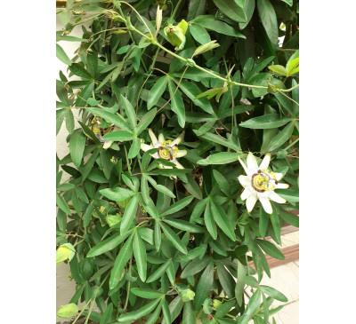 Пасифлора блакитна (Passiflora caerulea)