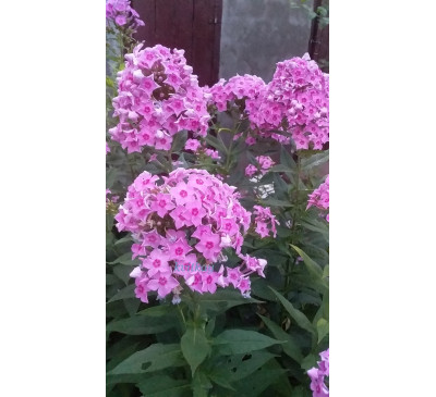 Флокс панікулата  Mary (Phlox paniculata Mary)