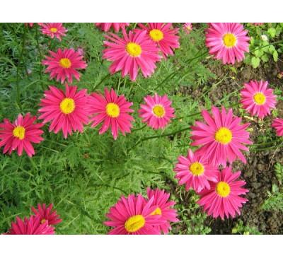Пиретрум рожевий , малиновий ( Pyrethrum roseum (Adam) Bieb.)
