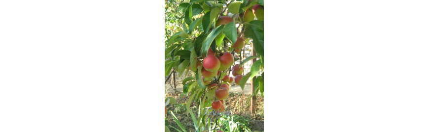 Плодові кущі та дерева