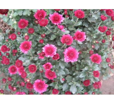 Хризантема мультифлора raspberry