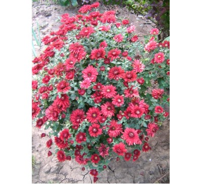 Хризантема мультифлора Camina Red