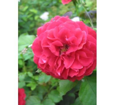 Роза бордюрна, мініатюрна Red sharm, ЗКС