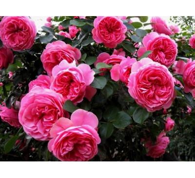 "Троянда флорибунда ""Леонардо да Вінчі"" (Rose Leonardo da Vinci)"