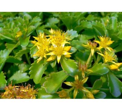 Очиток камчатський ( Sedum kamtschaticum)