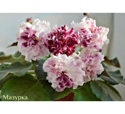 "Сенполія, узамбарська фіалка ""СМ-Мазурка"""