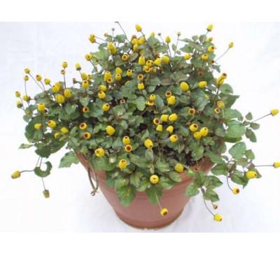Спілантес городний, насіння (лат. Spilánthes)