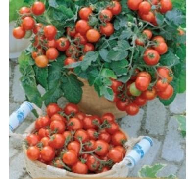 Насіння помідору кімнатного Вілма