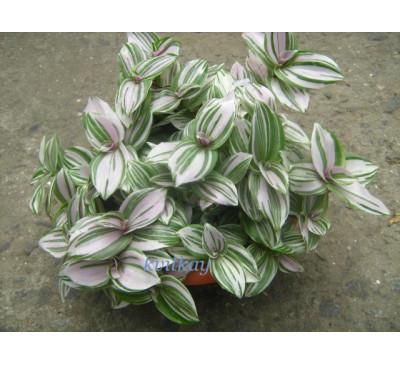 Традесканція білоквіткова Триколор (Tradescantia albiflora Tricolor)