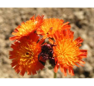 Нечуйвітрик оранжево-червоний, насіння (Pilosella aurantiaca)