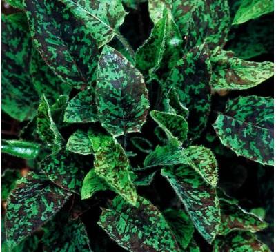 Ястребинка крапчата, насіння (Hieracium laevigatum)