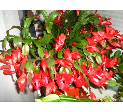 Шлюмбергера усічена (Schlumbergera truncatus)  Christmas Cheer